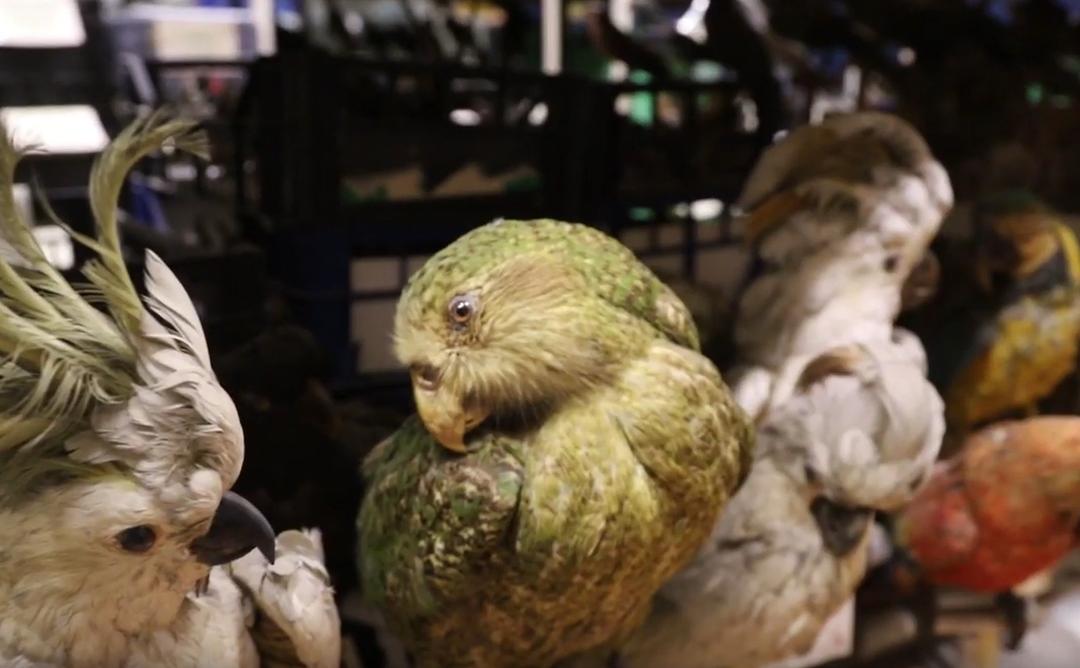 Reportage: La collection d'oiseaux du Muséum d'Histoire Naturelle